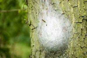Pera árbol de hoja Insectos