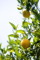 ¿Cuándo mi árbol de naranja Naranjas Producir?