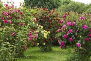 ¿Qué causa los brotes de Rose a tomar color antes de la inauguración arbustos?
