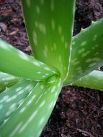 Aloe Vera Cuidado De Plantas