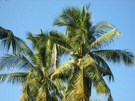 Los estados de desarrollo de una palmera del coco
