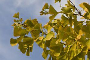 Ginkgo cuidado de los árboles