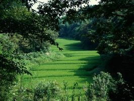 Herbicida de chufa en la hierba de San Agustín