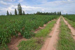 Cómo cultivar la cosecha y Yuca Raíz