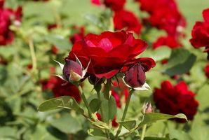 Muestras para la poda de rosales
