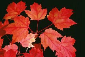 El árbol de arce rojo tiene hojas pequeñas, amarillas