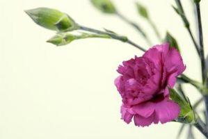 ¿Cómo hacer crecer las flores perennes Dianthus