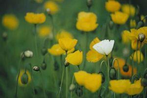 ¿Cuáles son algunas herbáceas plantas con flores blancas o rosadas?