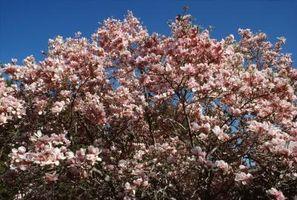 Las manchas blancas en las hojas del árbol de la magnolia