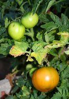 Plantas de tomate y hojas amarillas o muertas Flores