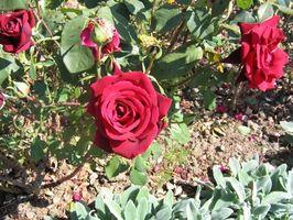 Lo que hace que las hojas de los arbustos de Rose a ponerse amarillas?