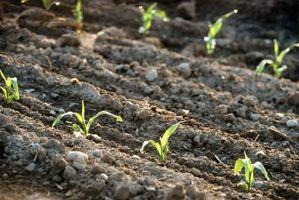 Las hojas de Brown en el maíz Las plantas de semillero