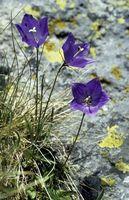 Flores de Rumania