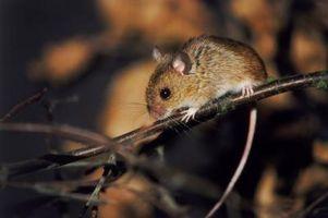 Cómo mantener a los ratones fuera de los espacios de trabajo y de conductos de rastreo