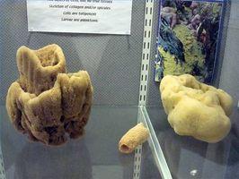 Diferencias entre artificiales y naturales Esponjas