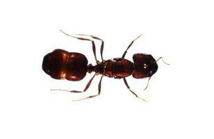 Manera segura de deshacerse de las hormigas en la casa