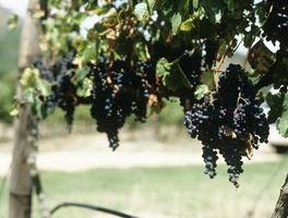 Lo temporada son uvas maduras?