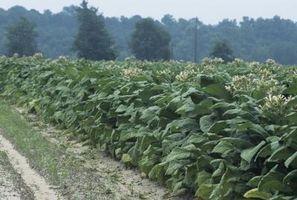 ¿Cómo deshacerse de los gusanos de las yemas del tabaco