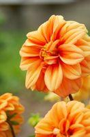 El significado de la flor de la dalia
