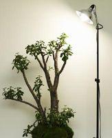 Jade Planta Tasa de crecimiento