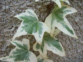 Remedios para la Curación de una planta de hiedra cubierta congelada