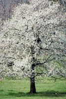 Las plantas tolerantes y árboles para Suelos Ácidos