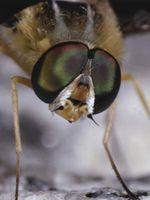 Cómo matar una mosca Naturalmente