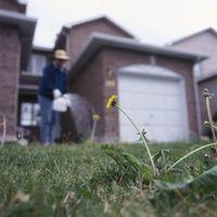 Las malas hierbas del césped