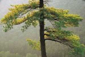 Como planta ornamental Tamaracks