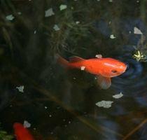 Cuidado de peces de colores en un estanque
