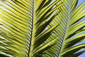 Cómo saber si su reina de la palmera sigue vivo