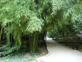 Evergreen bambú como una cobertura