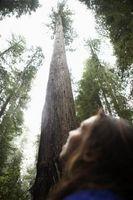 ¿Cuán alto es un árbol de la secoya?