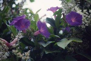 Perenne con las vides y las flores púrpuras
