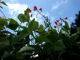 El crecimiento de la planta de frijoles rojos