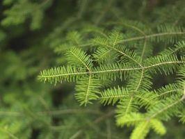 Ciervos Pines resistentes