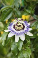 ¿Cuáles son las partes de una flor de la pasión?