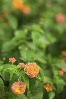 Puede cortar el césped Lantana plantas?