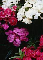 Alcalino-Amar Flores