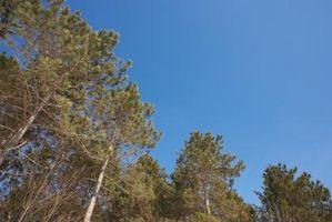 Cómo para regar los árboles de pino