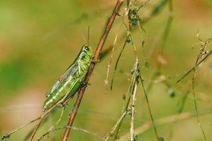 Insectos que comen Jardines