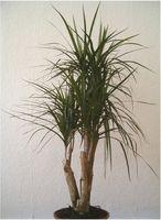 Drago Cuidado de las plantas