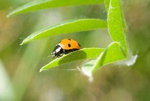 Las plantas que mantener a raya asiática Escarabajos
