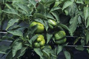 ¿Por qué planta de pimiento Do tallos se vuelven Negro?