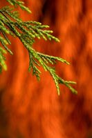 ¿Cuál es el pH de la Juniper Bush?