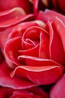 El ciclo de vida de las flores dicotiledóneas