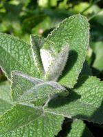 No hojas de menta atraer o repeler hormigas?