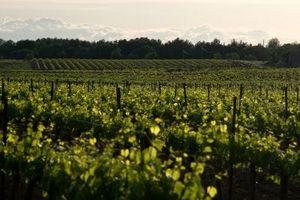 ¿Cómo hacer crecer Cepas de uva con apoyo de la cerca