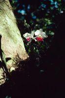 Las plantas que crecen bajo los árboles de alcanfor