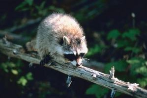 Cómo mantener a los mapaches de caminar en las cercas